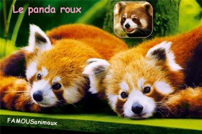 Le panda roux ou Petit panda