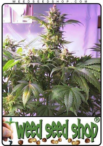 vive la weed