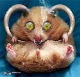 Contat d'hamster .