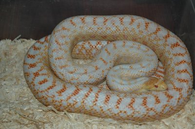 Pituophis catenifer annectans, serpent gopher de San diego  phase albinos applegate