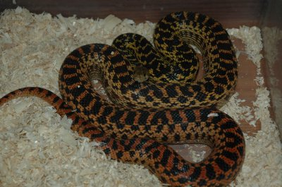 Pituophis catenifer annectans, couleur standart