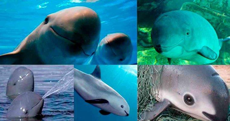 « Sea of Shadows » : immersion dans la lutte pour sauver les derniers vaquitas