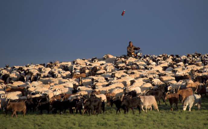 Comment chèvres et moutons accélèrent la désertification de la Mongolie... Un zoo s'engage pour la survie du dernier cheval sauvage...