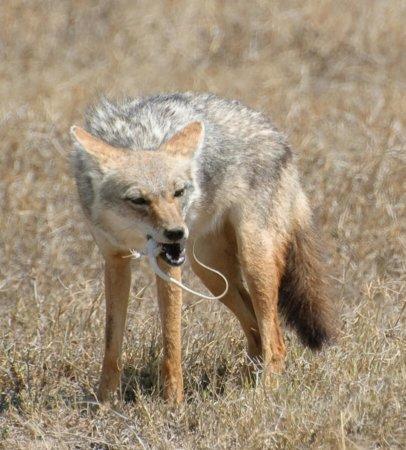 Qui est le Chacal doré (Canis aureus), ce petit carnivore qui arrive en France ???