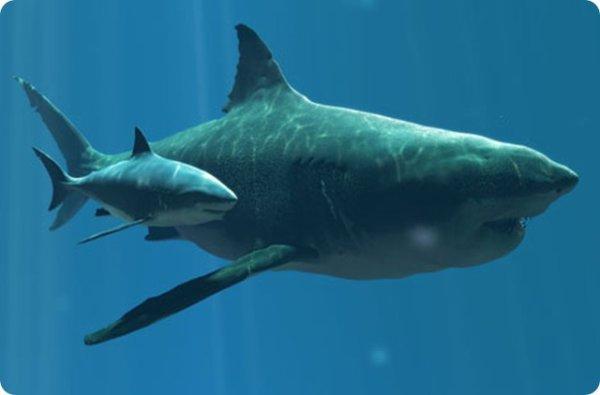 Taille relative du requin blanc et de carcharodon - Photo de requin tigre a imprimer ...