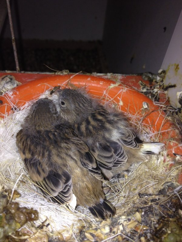 2 jeunes Fife au nid 2015