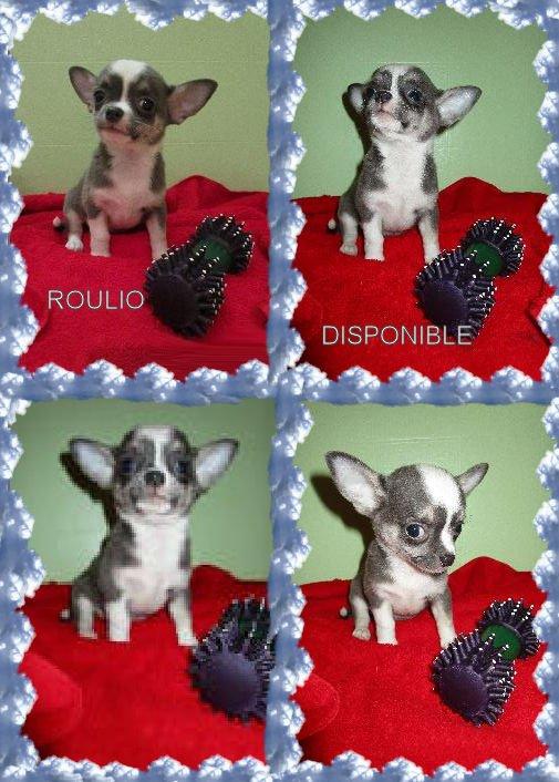 celui que l'on pourrait penser le chef, Roulio encore plus câlin et plus demandeur que ses soeurs, il attend une famille pour la réservation également; il a un caractère adorable et d'une couleur gris bleu et blanc.