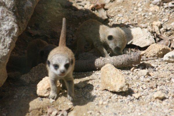 Des bébés suricates ! Trop mignons : D