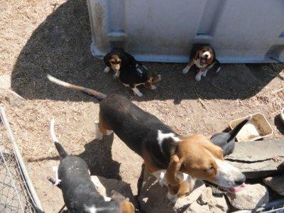 Album Photos des Beagles