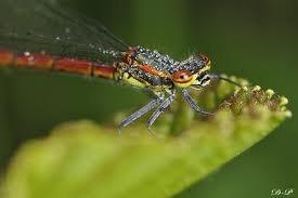 La libellule rouge