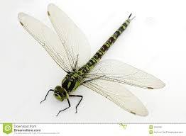 la libellule en grand