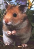 Photo de hamsters-animaux-119