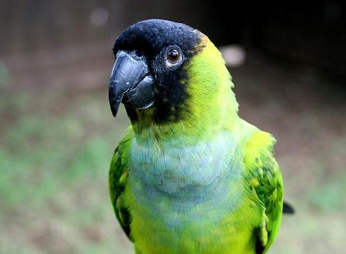 Conure t te noir perruche grande perruche et perroquet for Oiseau tete noire