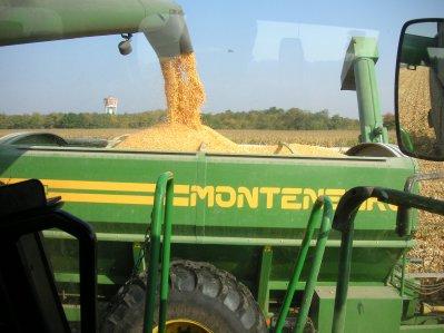 maïs grain sur la plaine d alsace