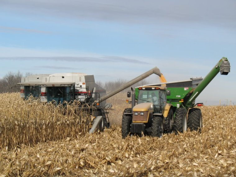 maïs grains