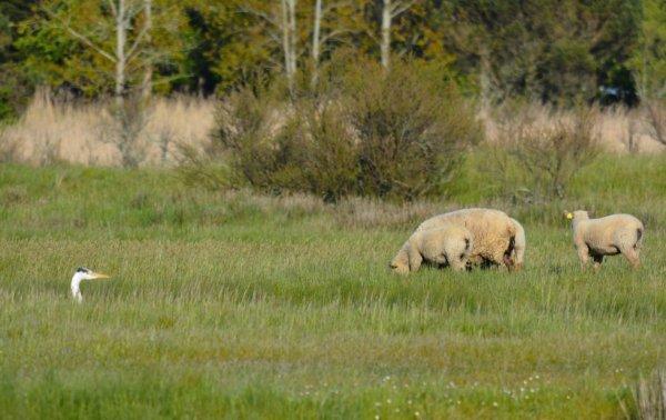 En Vendée c'est plu le chien qui garde les moutons :-)))))