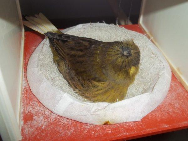 femelle gloster corona avec 4 petit.
