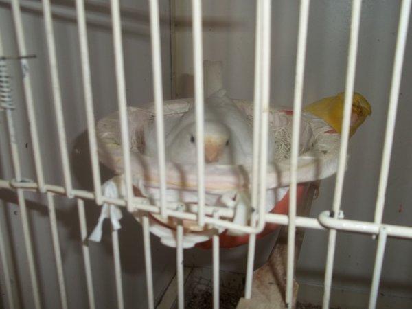 femelle blanc recésif et c'est 4 petits.