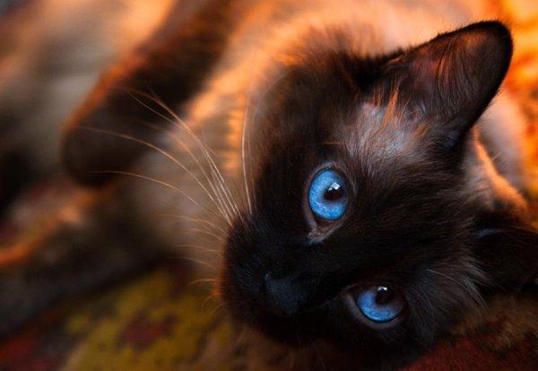 Chat au regard bleu diamant *__* <3