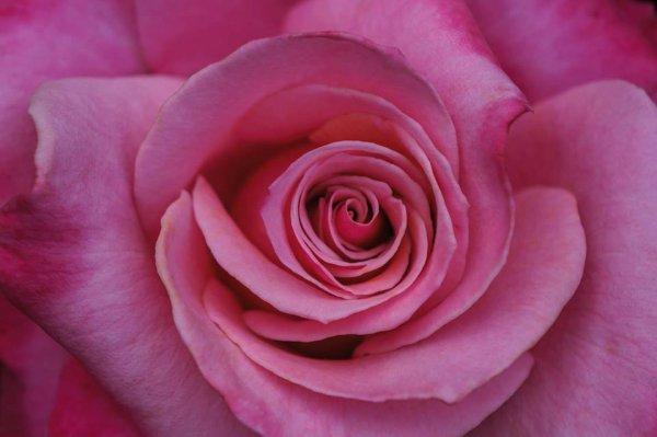 """""""La vie est une rose dont chaque pétale est une illusion et chaque épine une réalité."""" -Alfred de Musset"""