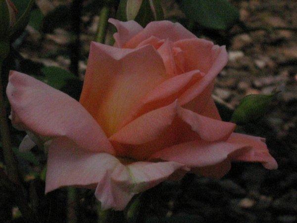 mesdames je vous offre cette rose