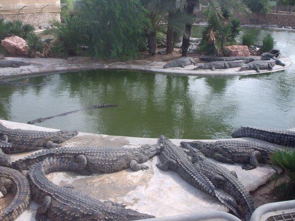 crocodiles djerba
