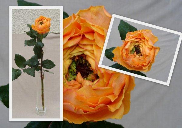 Rose ?????????