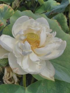 Lotus au jardin des nénuphars