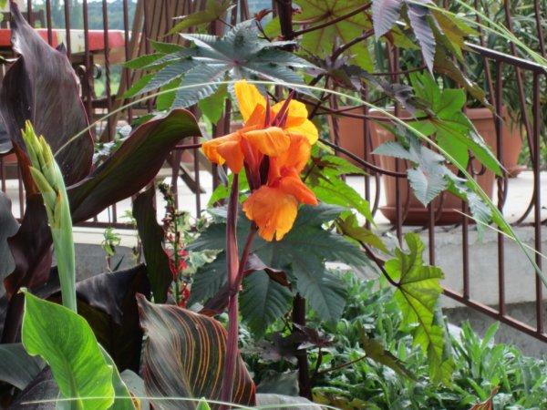 Fleur De Canna Orange Et Ricin Plantesexotiquesenlorraine