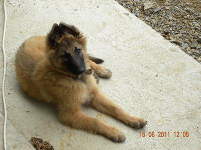ginwee ma chienne berger belge tervueren