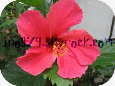 Hibiscus fuschia