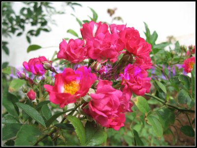 Novembre rose