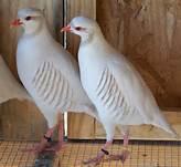 Je Trouve que se Couple De Perdrix Blanche Et Magnifique. Et vous Qu'en pensé Vous ?? ;)