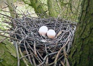 Ci-dessus: nid de pigeon ramier.