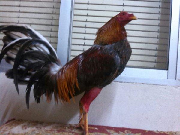 gallos preparados listo para su pelea