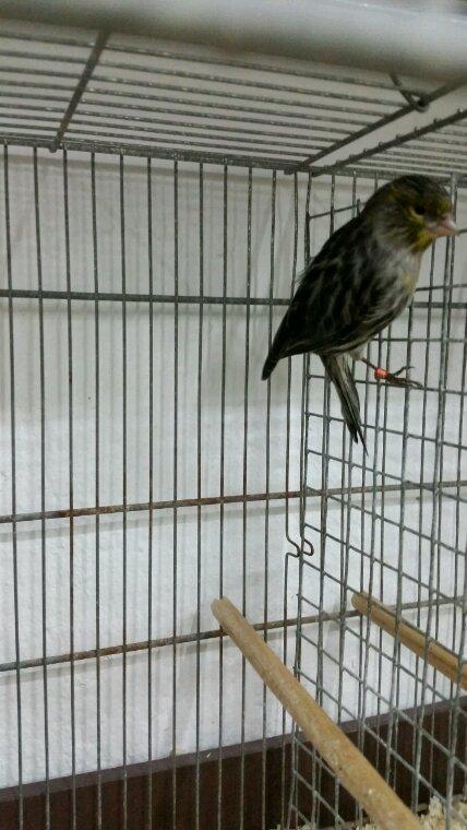 Un de mes mâle noir jaune mosaïque