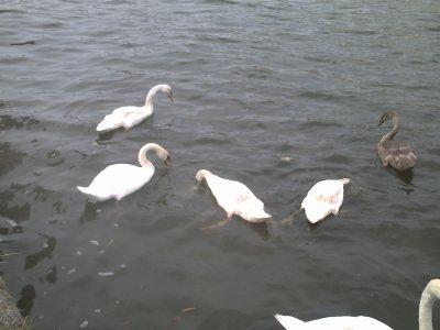 les cygnes et la pêche