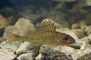 Les poissons recherchés en canal
