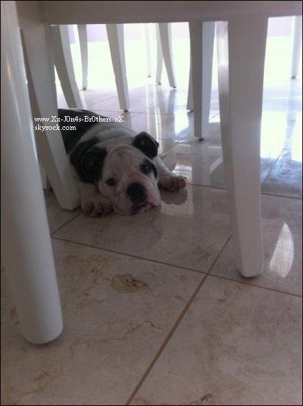 Le 24/11/2010 : Jashley et le petit chien d'Ashley se promenant dans L.A. Ashley a offert un chien à Joe, bienvenue à Winston Jonas.