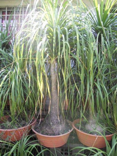 magnifiques grandes plantes d coratives int rieur