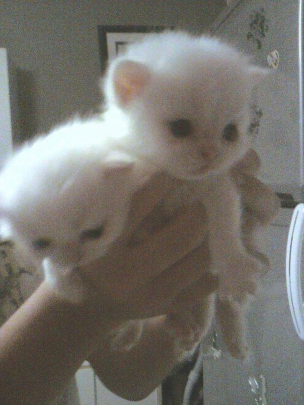 bébé persan chinchilla