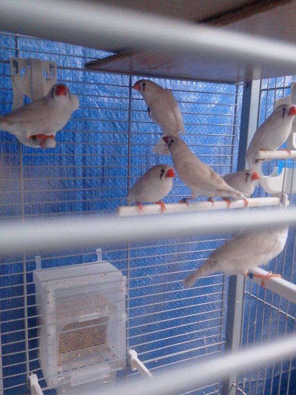 Les femelles dos pale pastel issu de dos pale pastel et poitrine blanche grise