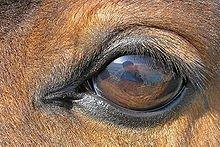 l'oeil et les sens du cheval