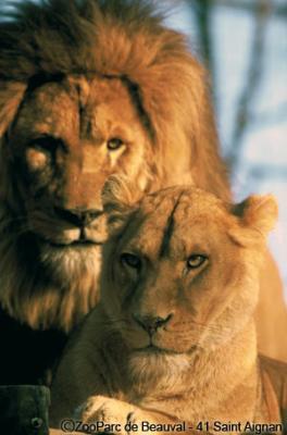 Blog de les felins du monde les fauves du mondes - Animaux du roi lion ...