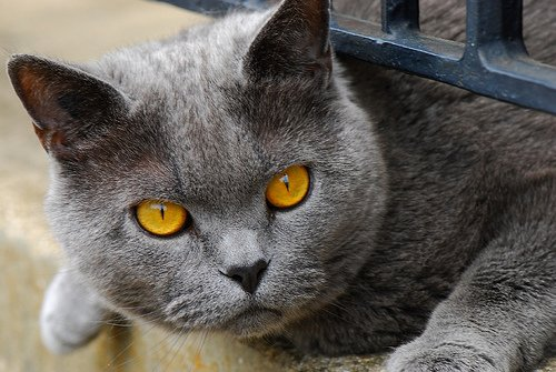 Beau Chat Avec Des Yeux Couleur Miel Avant D Avoir Mon
