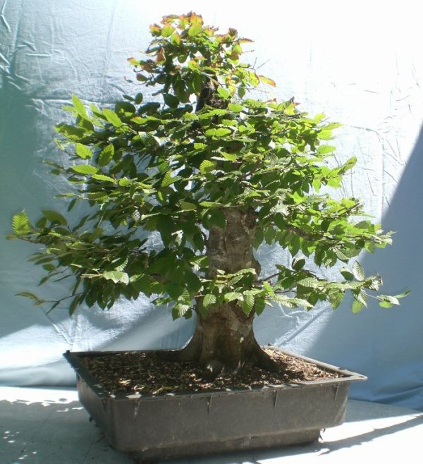 carpinus betulus arbophil l 39 ami des arbres. Black Bedroom Furniture Sets. Home Design Ideas