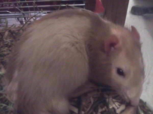 Mon rat Bundy :3