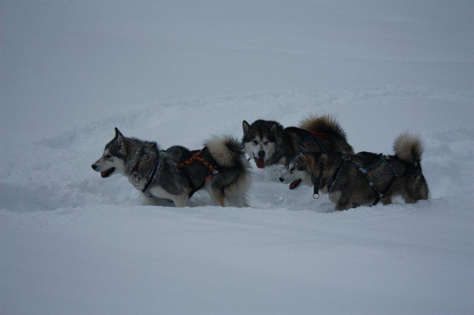 Blog de Fire Storm, Fatal Ice, Ginka de l'Alaska , Hard Snow et Maya, nos 5 Malamutes