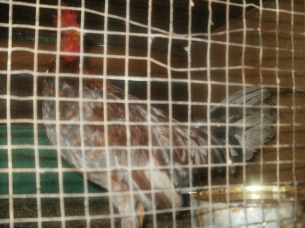 jeune coq poule