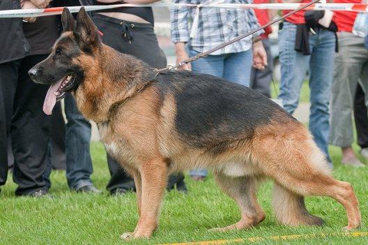 berger allemand taille adulte (standard) (u) (ninja)